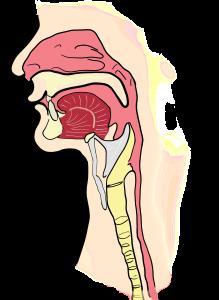 dibujo de la laringe